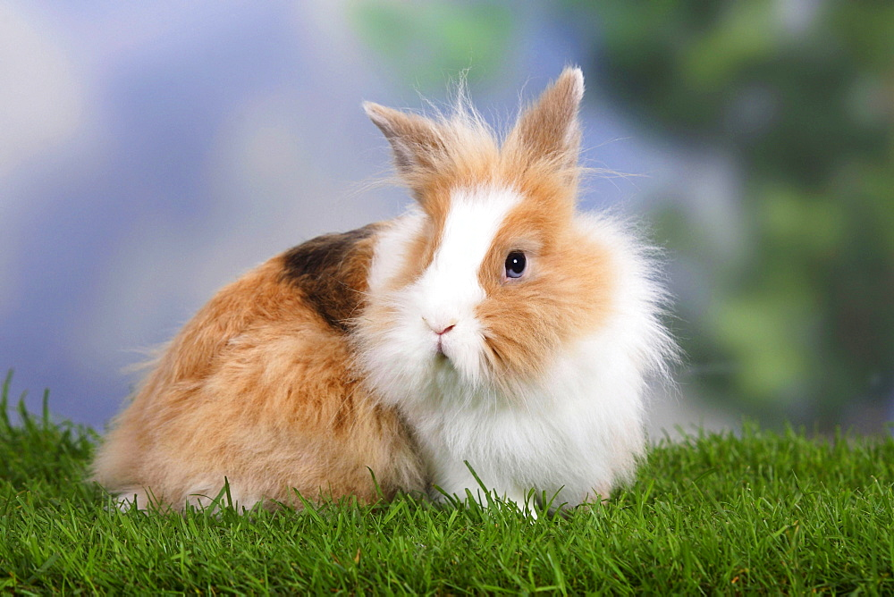 Lion-maned Dwarf Rabbit