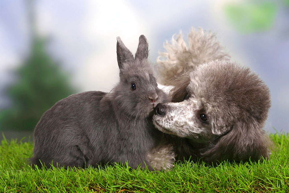 Miniature Poodle, silver, and Dwarf Rabbit, blue
