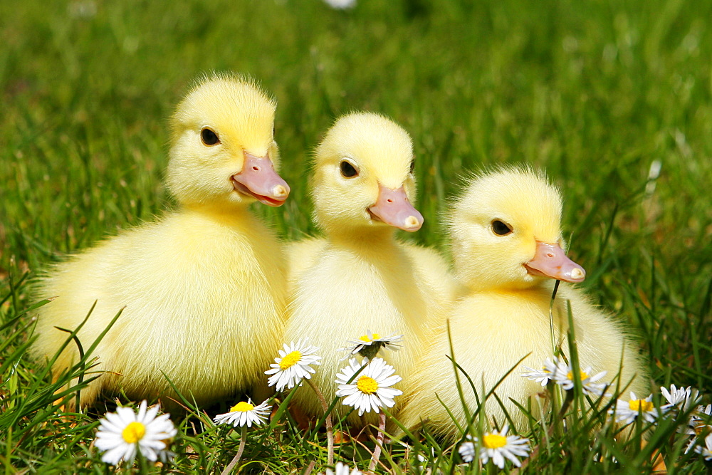 Domestic Ducks, ducklings