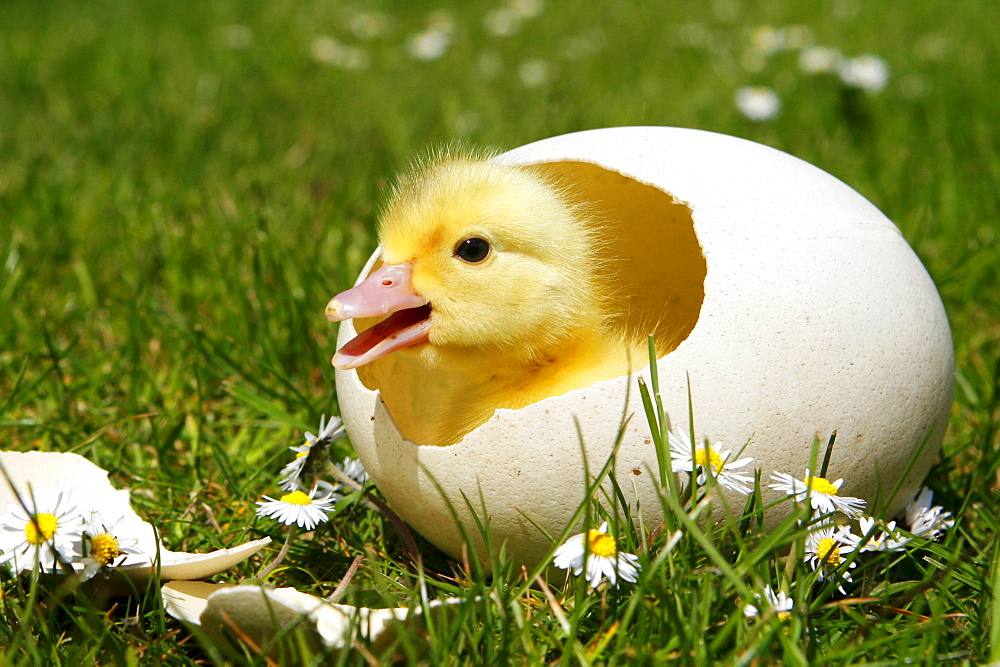 Domestic Duck, duckling in egg