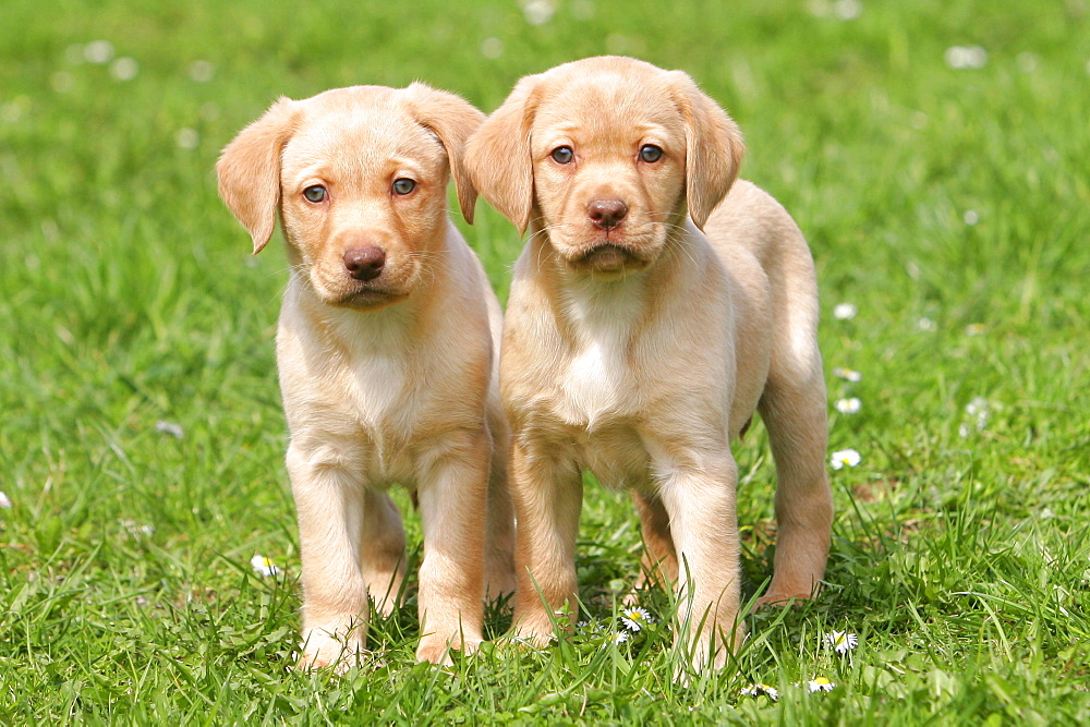 Labrador Retriever, puppies, 8 weeks