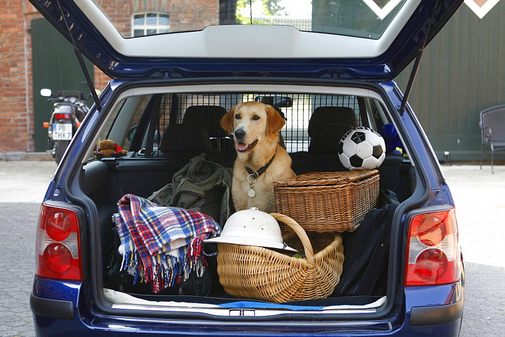 Labrador Retriever in car