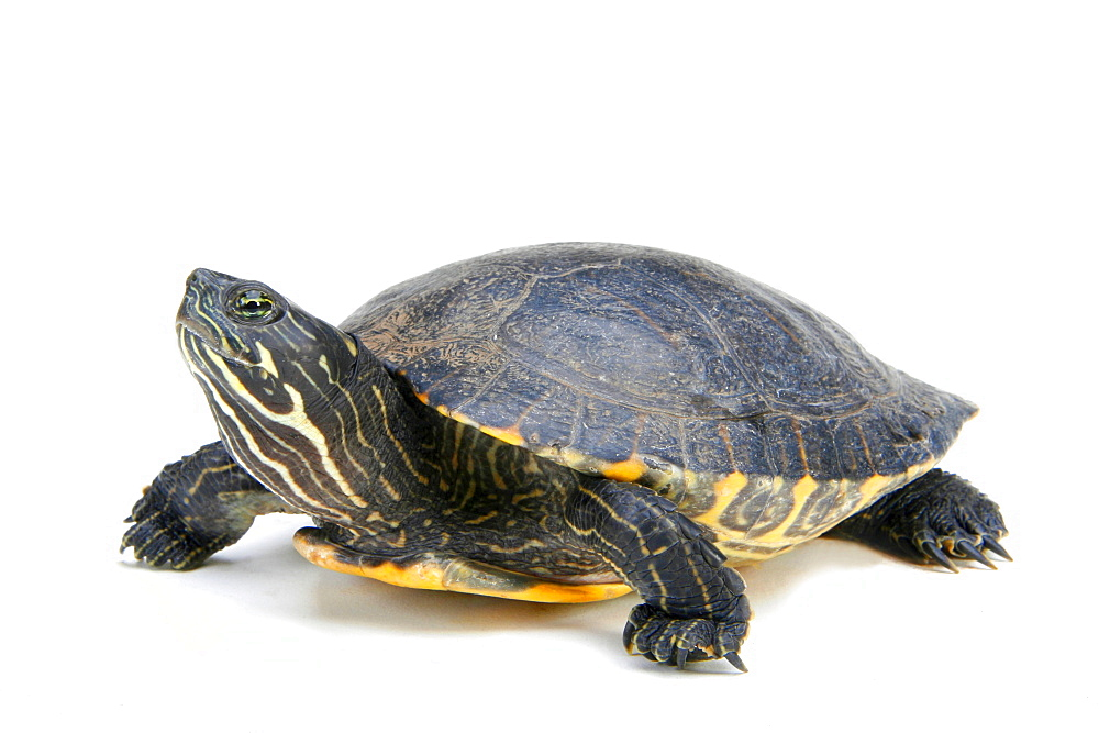 Yellow-bellied Slider / (Trachemys scripta scripta)