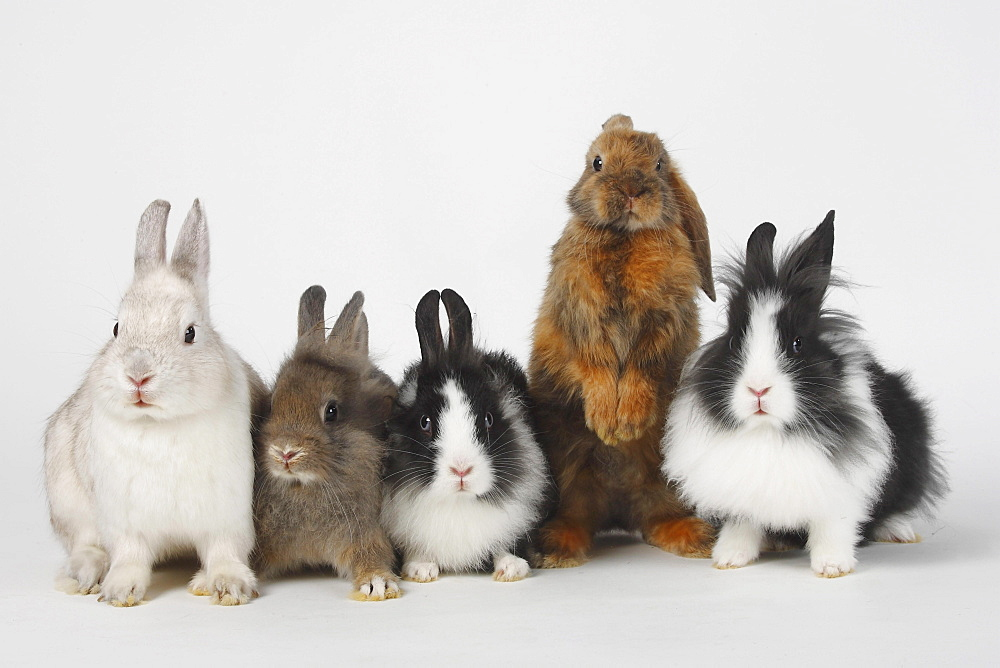 Lion-maned Dwarf Rabbits, 13 weeks, Dwarf Rabbit, and Satin Lop-eared Dwarf Rabbit, 8 weeks / Domestic Rabbit