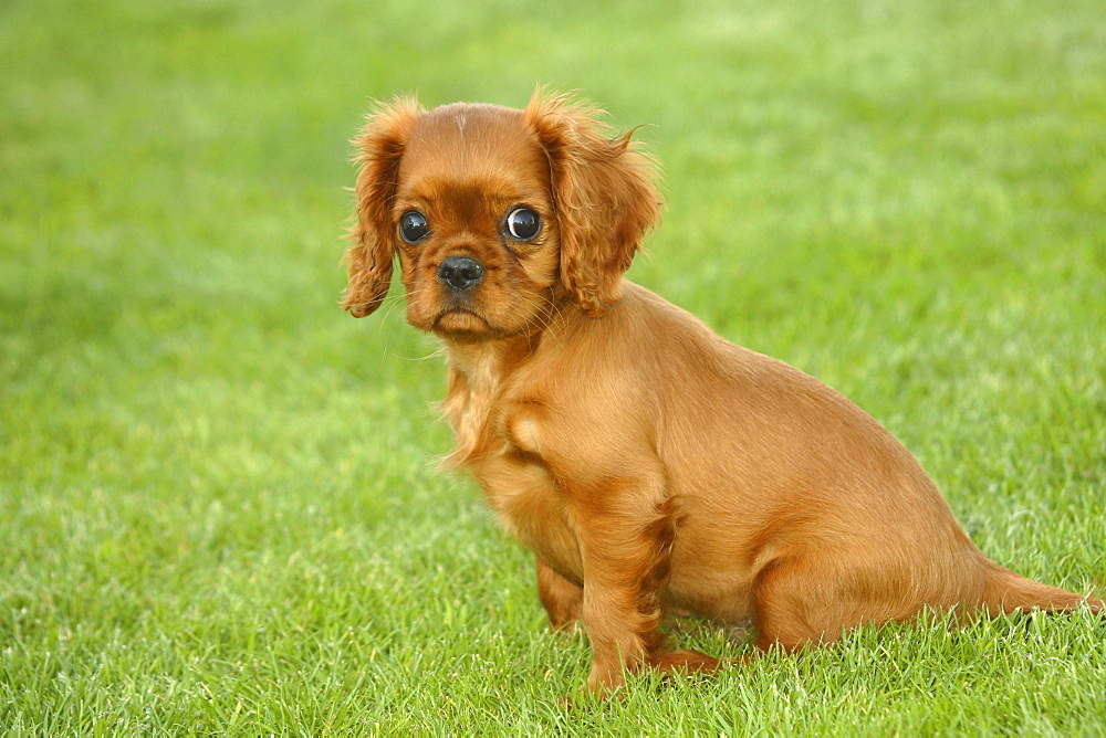 Cavalier King Charles Spaniel, puppy, ruby, 12 weeks / side