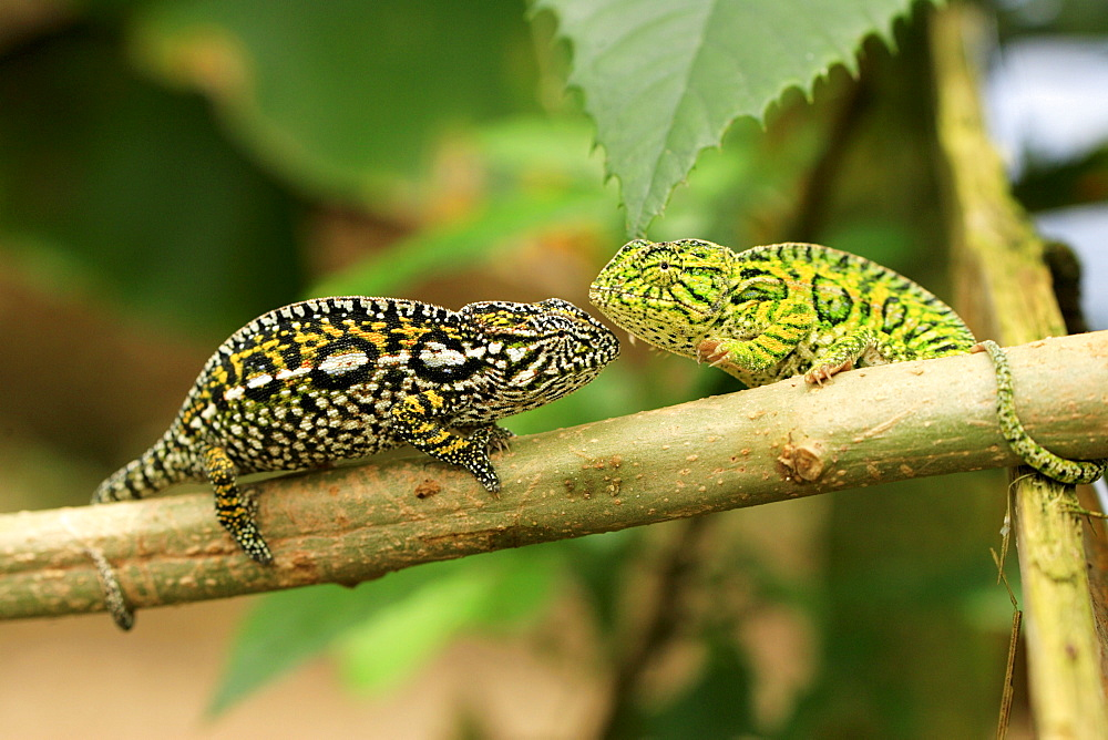 Carpet Chameleons, pair, Madagascar / (Furcifer lateralis, Chamaeleo lateralis)