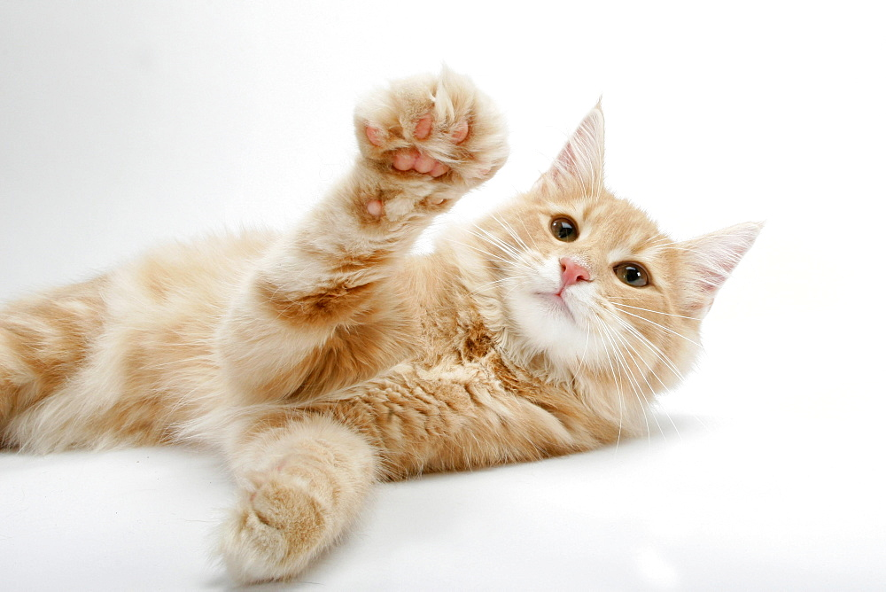 Norwegian Forest Cat, lifting paw  - 1127-7452