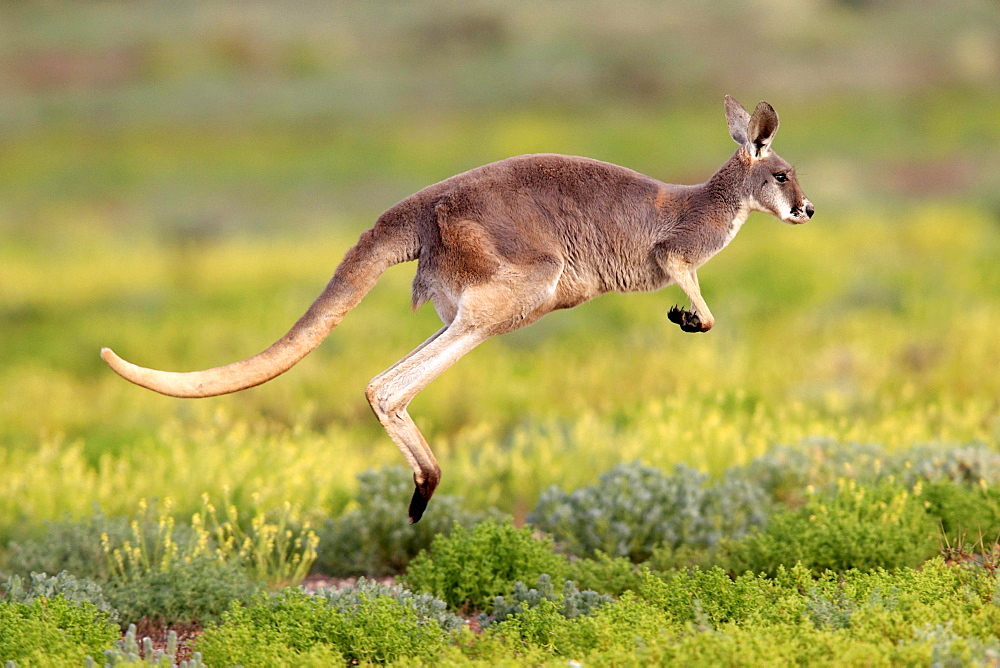 Red Kangaroo, Sturt national park, New South Wales, Australia / (Macropus rufus) / side