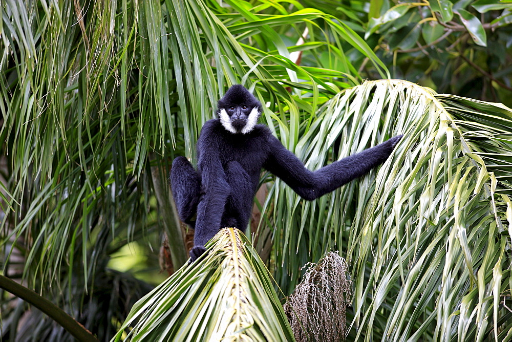 Crested Black Gibbon, male / (Hylobates concolor)