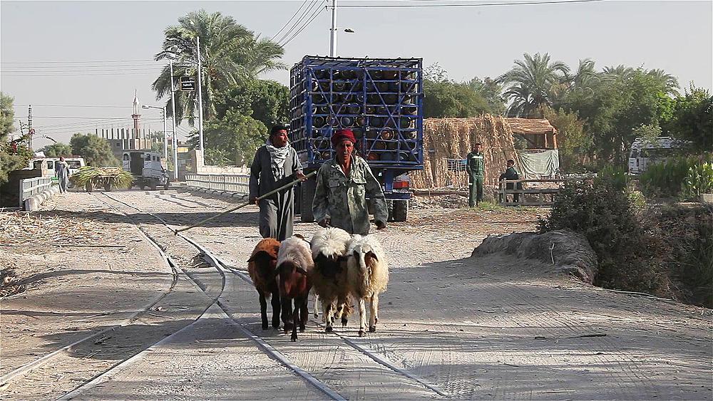 Men Hurding Sheep, Near, Luxor, Egypt
