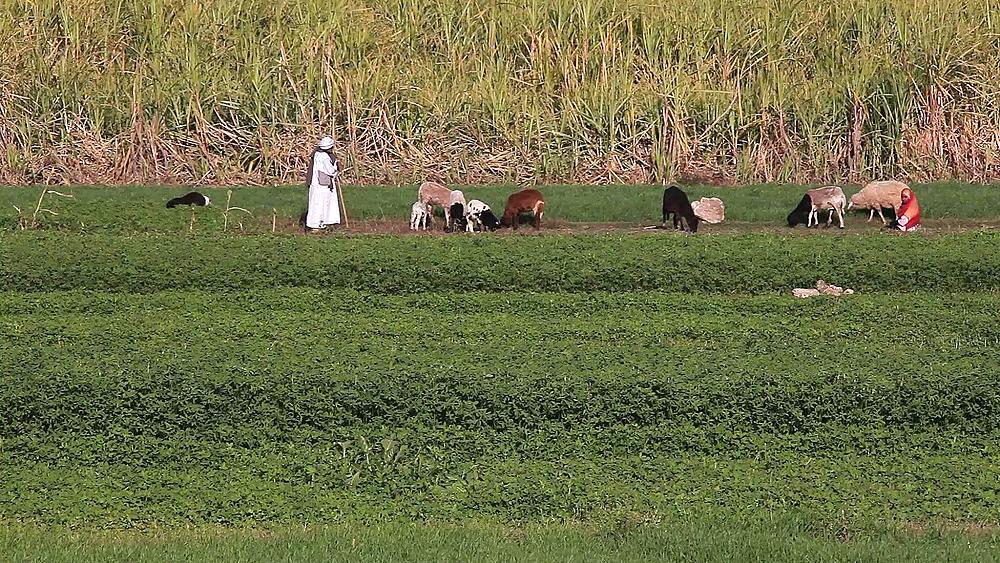 Grazing Sheep & Sugar Cane Field, Near, Luxor, Egypt