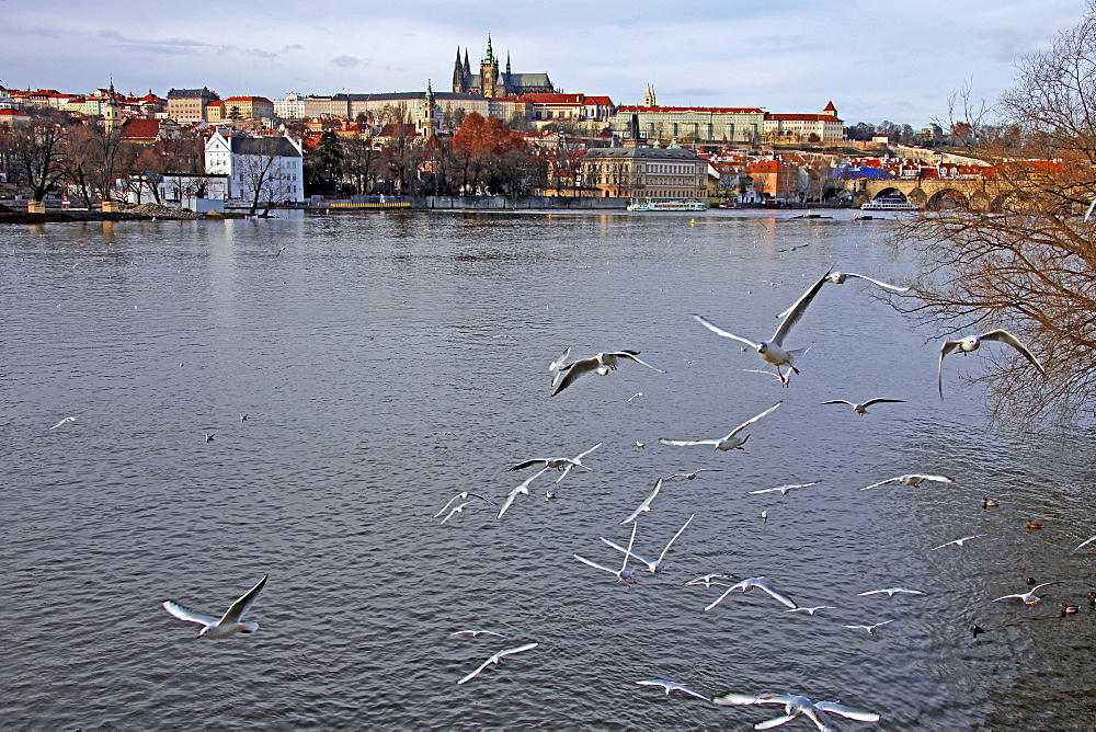 Black-headed gulls, Vltava River and St. Vitus Cathedral, Prague, Czech Republic, Europe