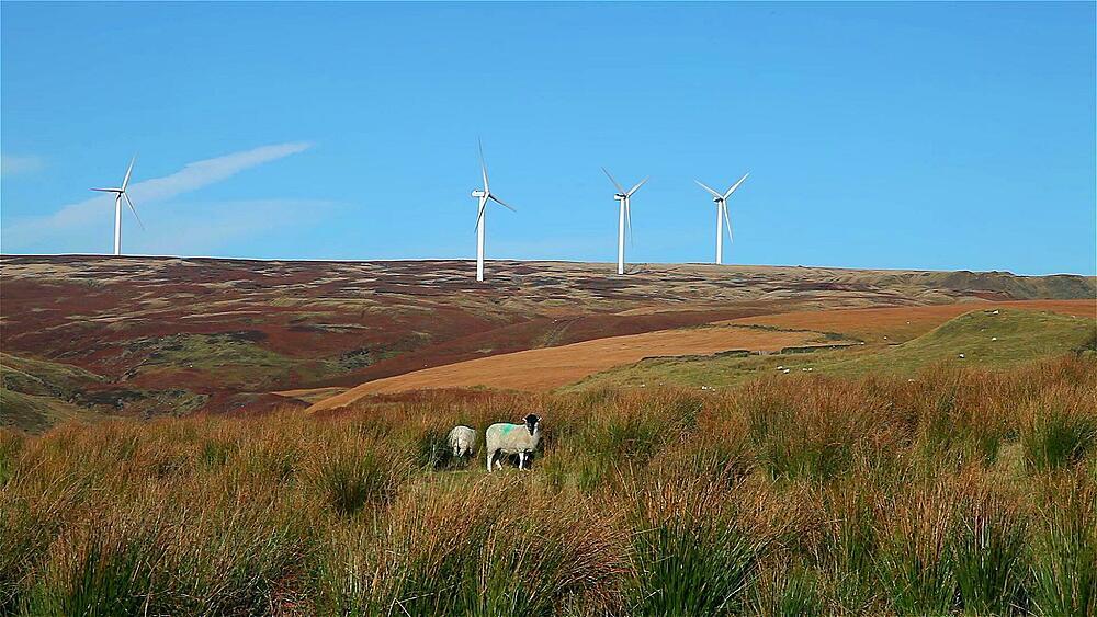Sheep & wind turbines on moor
