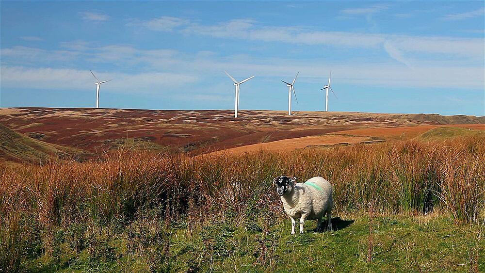 A sheep & wind turbines on moor, near, Wolstenholme, Lancashire