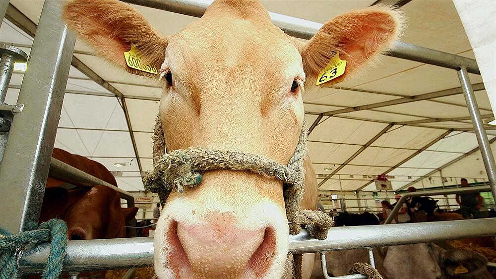 Limousin cattle in cattle shed, the great yorkshire show