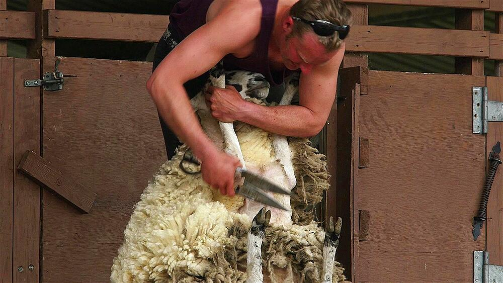 Display of hand blade shearing on sheep, the great yorkshire show
