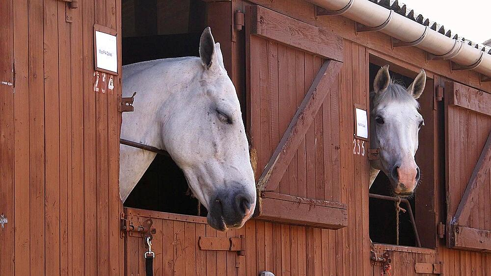 Two white horses looking out of stable doors, the great yorkshire show