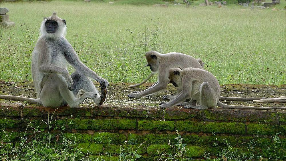 Grey Langur Monkey's Feeding, Anuradhapura, Sri Lanka - 1130-2254