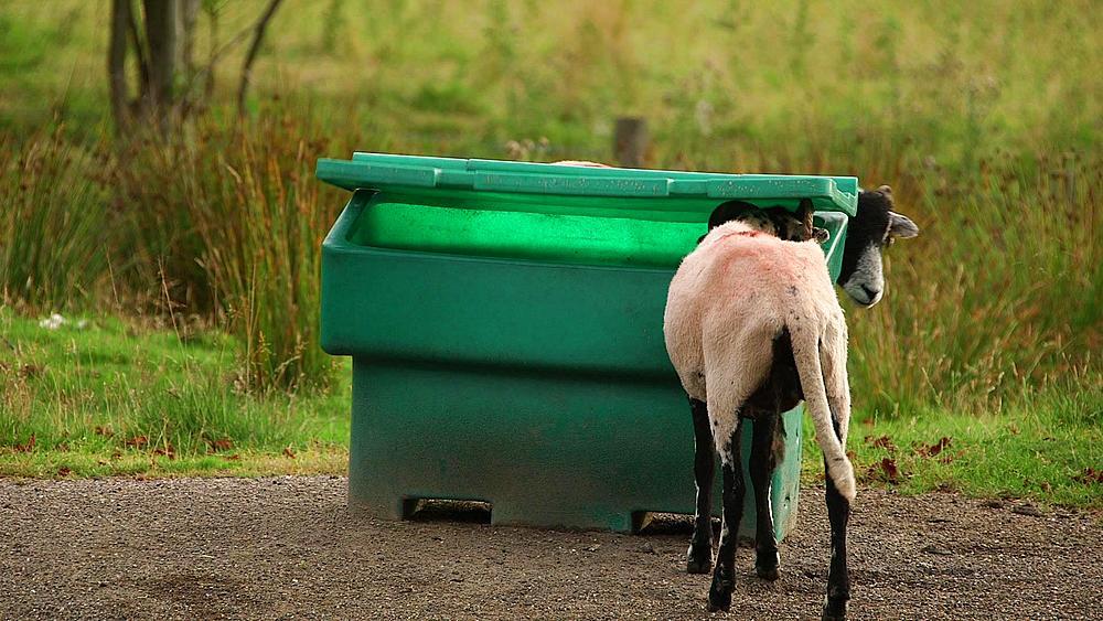 Swaledale Sheep & Road Grit Bin, Nr Hutton-Le-Hole, England