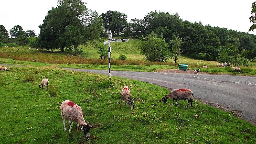 Grassing Swaledale Sheep, Nr Hutton-Le-Hole, England