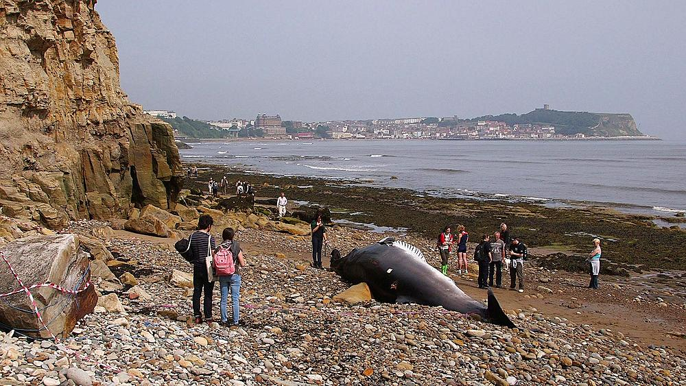 Minke Whale Washed Up Beach, South Bay, Scarborough
