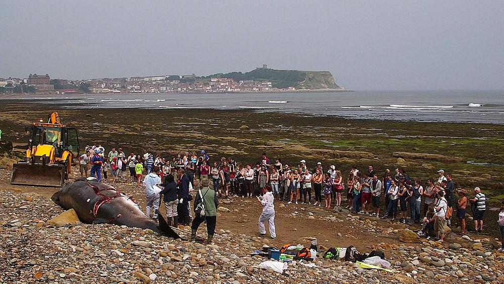 Large Crown Watch Autopsy By The Zoological Society Of London On A Washed Up Minke Whale, South Bay, Scarborough