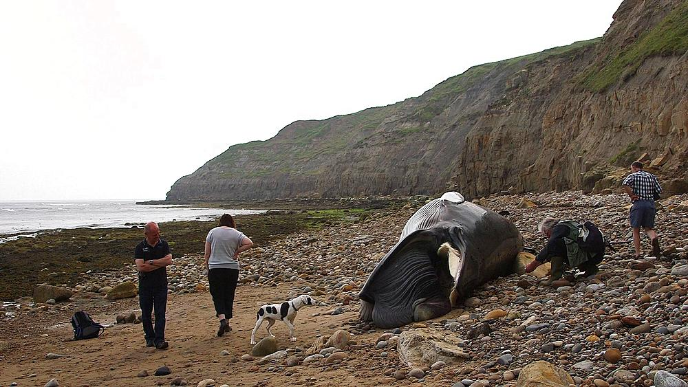 Dog Checks Out Minke Whale Washed Up Beach, South Bay, Scarborough