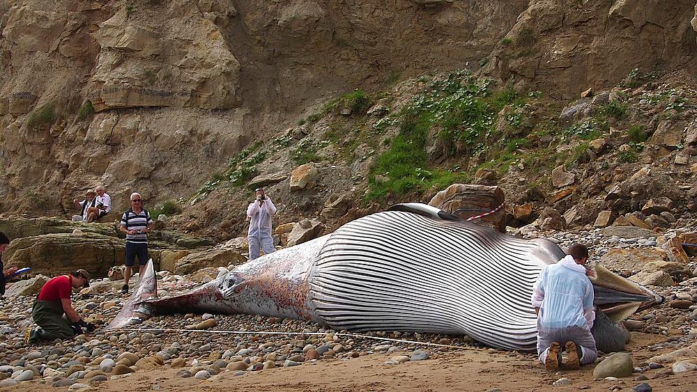 Measurements Takeb By The Zoological Society Of London On A Washed Up Minke Whale, South Bay, Scarborough