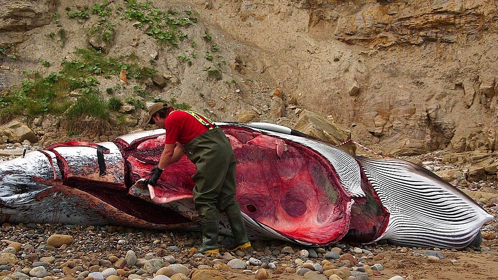 Autopsy On A Washed Up Minke Whale By Zoological Society Of London, South Bay, Scarborough
