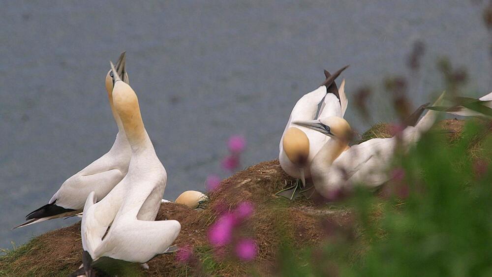 Nesting Gannet's Fighting, Rspb Bempton Cliffs