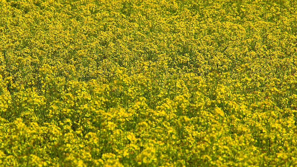 Yellow Rapeseed Blowing In Wind (BRASSICA Napus)