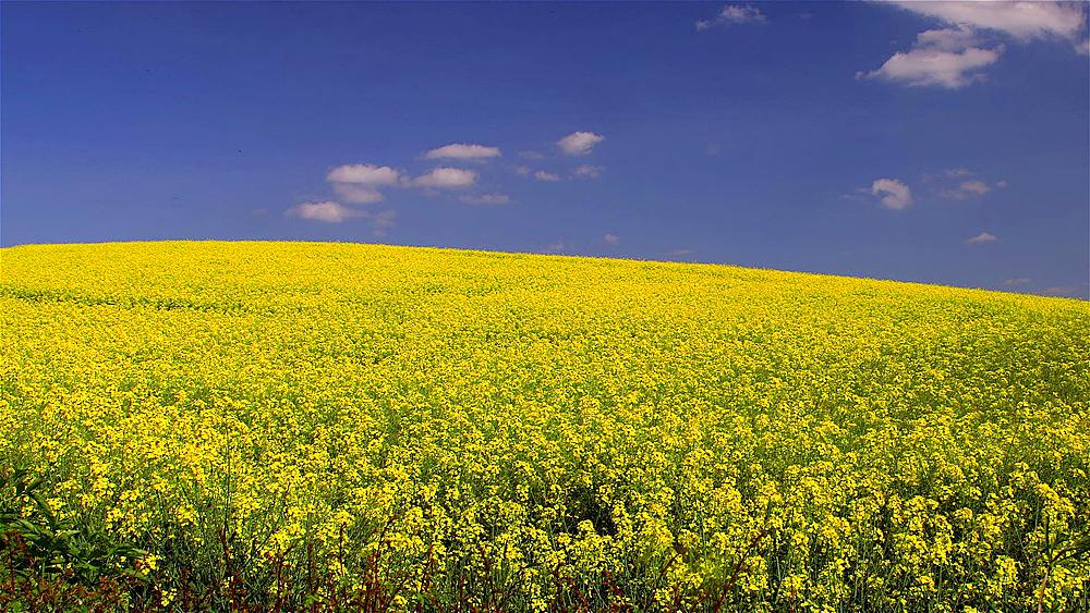 Yellow Rapeseed Field (BRASSICA Napus), Scarborough, North Yorkshire