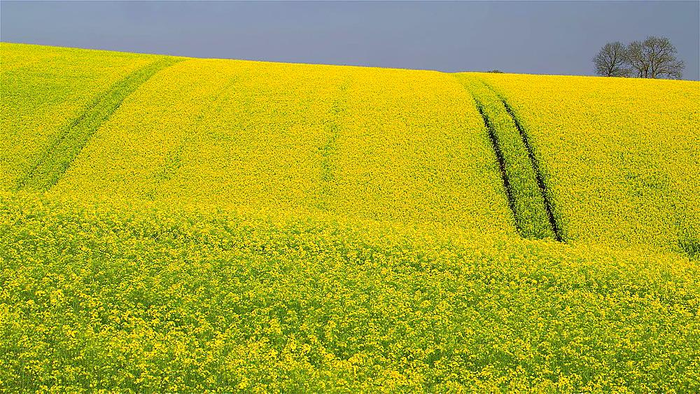Yellow Rapeseed Field (BRASSICA Napus), East Ayton, Scarborough, North Yorkshire, England