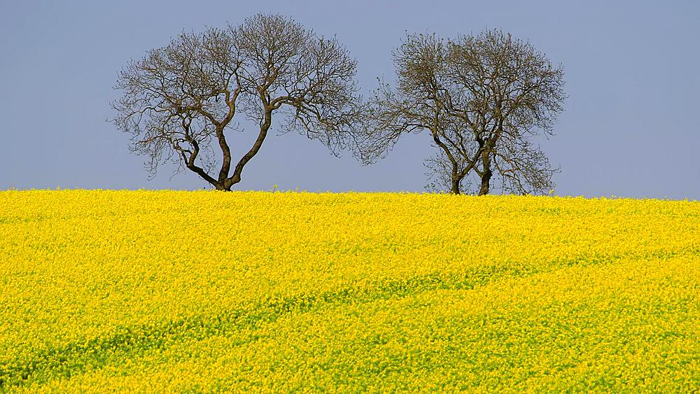 Trees & Yellow Rapeseed Field (BRASSICA Napus), East Ayton, Scarborough, North Yorkshire, England