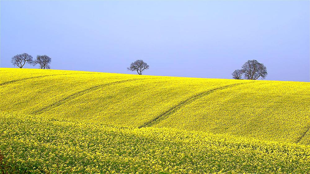 Tree & Yellow Rapeseed Field (BRASSICA Napus), East Ayton, Scarborough, North Yorkshire, England