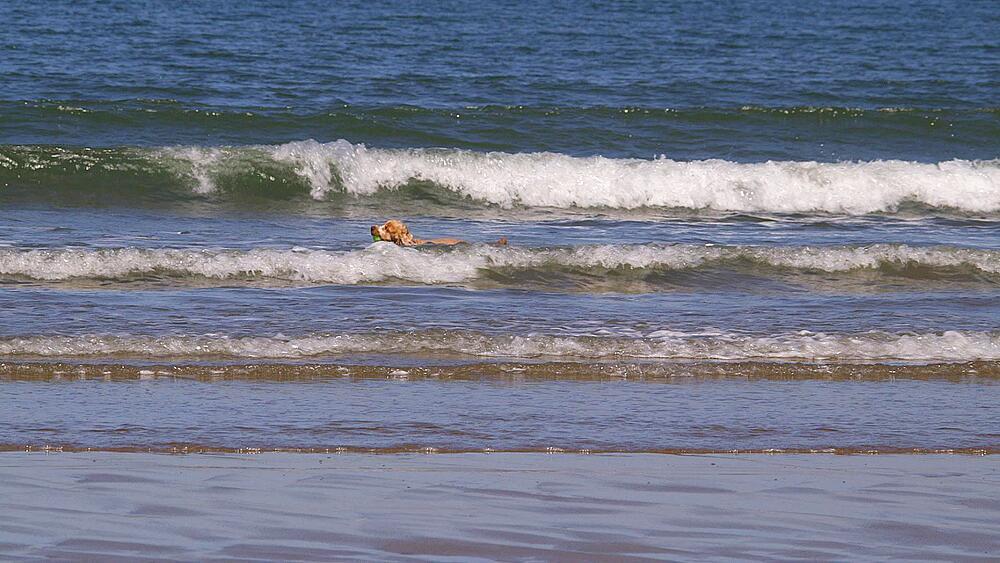 English Cocker Spaniel Dog In Sea, North Bay, Scarborough, North Yorkshire, England