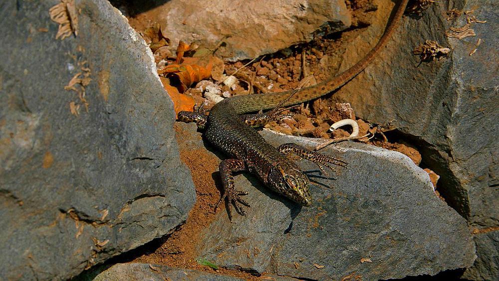 Madeira Lizard, Teira Dugesii, Monte, Funchal, Madeira