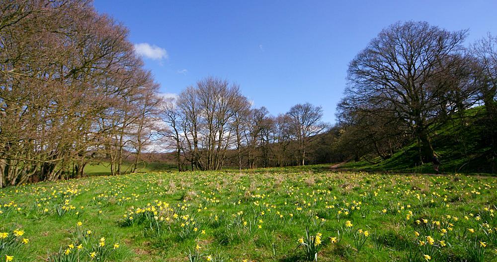 Farndale daffodil valley walk, Farndale, North Yorkshire