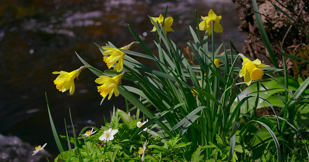 Daffodil's on the river dove riverbank, Farndale, North Yorkshire