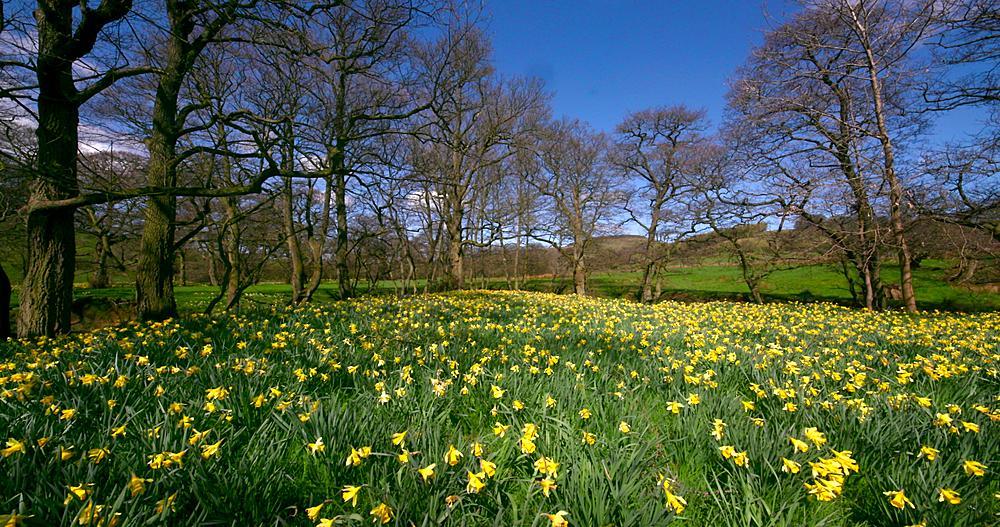Daffodil's in medow, Farndale, North Yorkshire