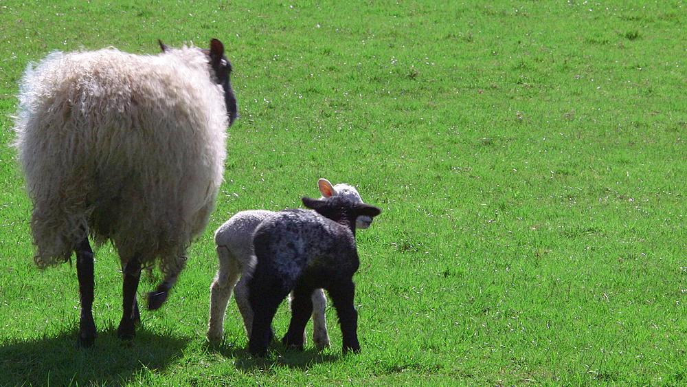 Ewe Feeding Lambs, Hackness, North Yorkshire, United Kingdom