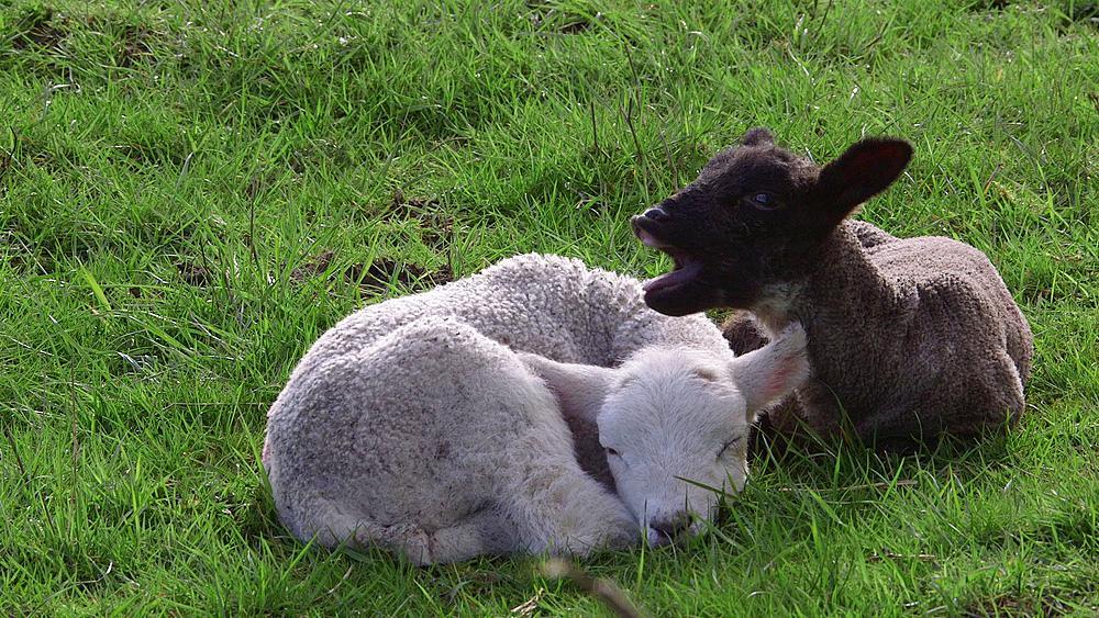 Lambs, Hackness, North Yorkshire, United Kingdom