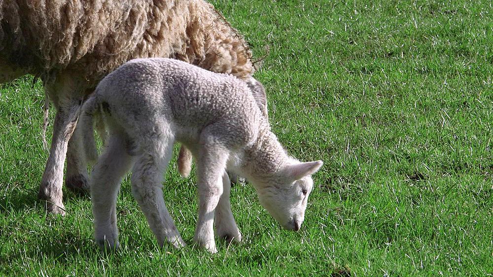 Ewe & Lamb, Hackness, North Yorkshire, United Kingdom