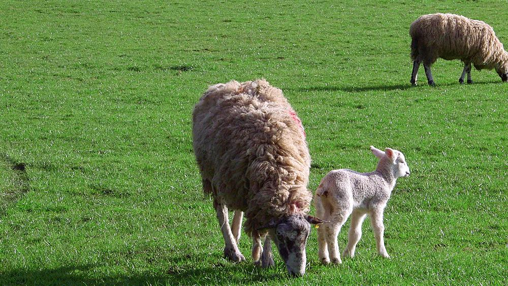 Ewe & Lambs, Hackness, North Yorkshire, United Kingdom
