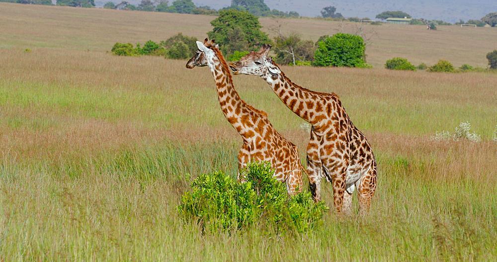 Two Masai Giraffe near bush, Masai Mara, Kenya, Africa