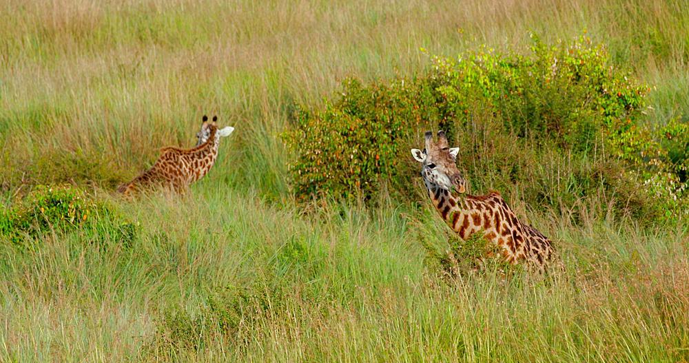 Two Masai Giraffes in long grass, Masai Mara, Kenya, Africa