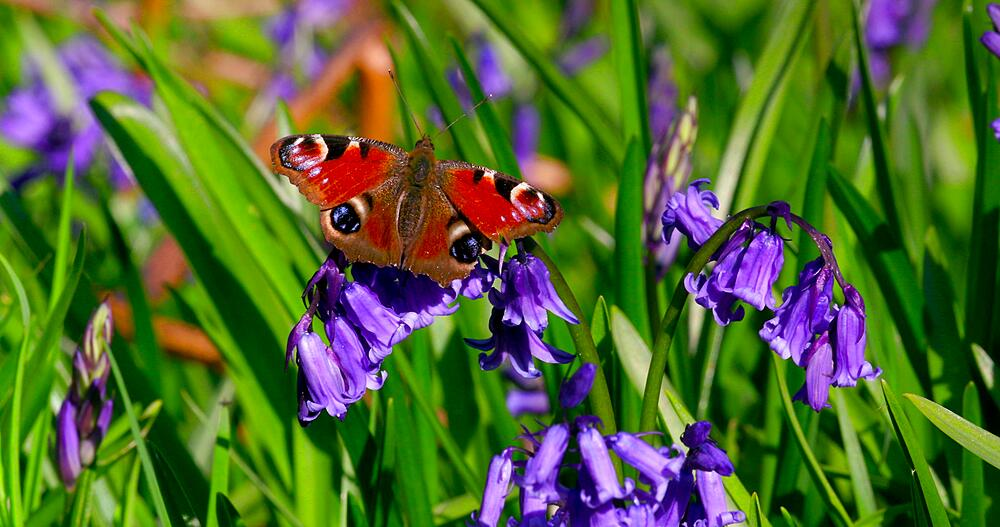 Peacock butterfly & common bluebell flowers, Newton Wood, Great Ayton