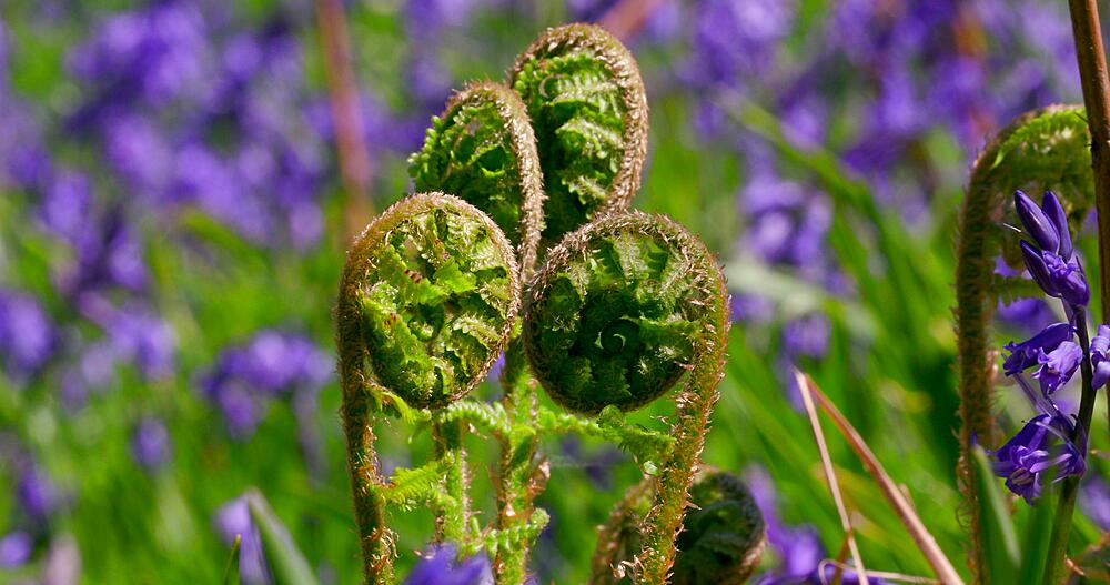 Bluebells & fern fronds, Newton Wood, Great Ayton