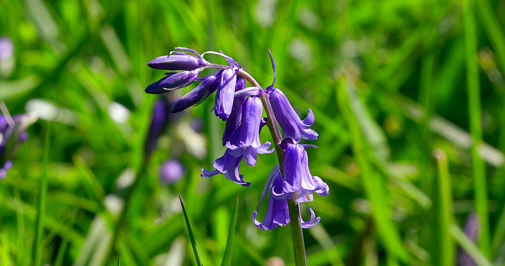 Common bluebell flowers in meadow, Newton Wood, Great Ayton