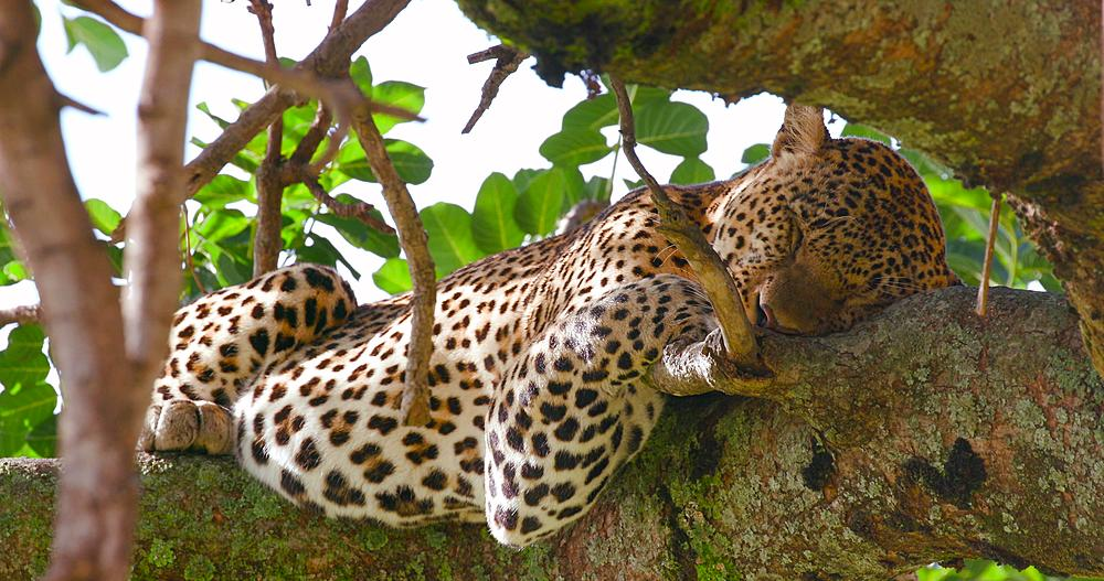 Leopard sleeping in tree, Maasai Mara, Kenya, Africa - 1130-4733